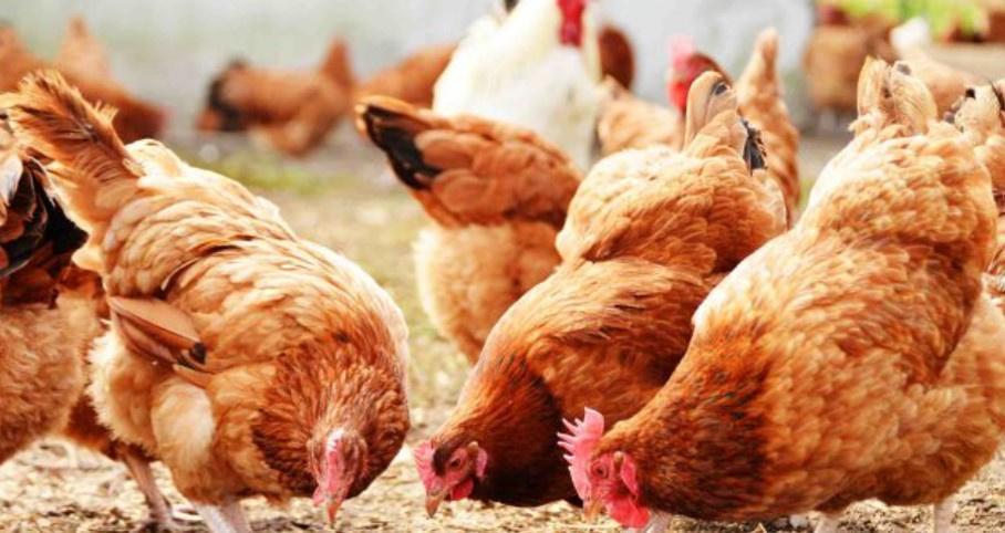 Non-GMO Poultry Butchery Business