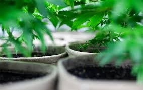 Investment Opportunity in the Organic Cannabis Growing Industry!